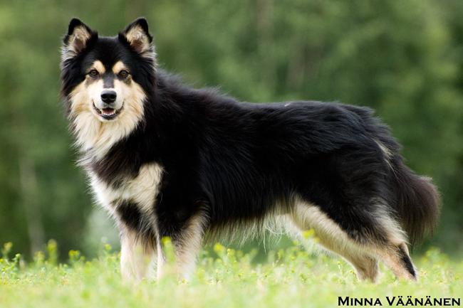 Koirat.com - Suomenlapinkoirat